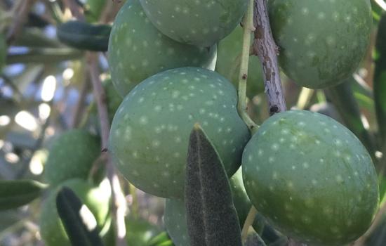 Olive Gaeta