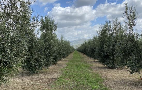 Oliveto Panoramico - Azienda Agricola Alfredo Cetrone